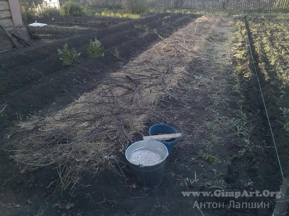 Картофель под соломой - мои огородные эксперименты