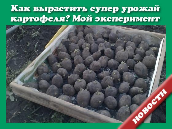 Картофель под соломой - мой эксеперимент